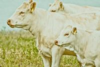 Devine Bovine: Counting Cows—Curating Relative Values: The Cost of Art in the Northern Renaissance, Jeanette Lamb